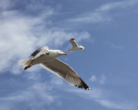 Flying herring gull Royalty Free Stock Images
