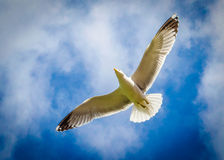 Seagull from below. Highly detailed, sharp Seagull image shot from below royalty free stock images