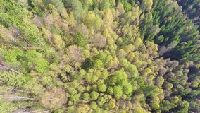Flying high above large spruce tree forest with camera panning stock video footage