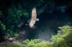 Flying Higher. Vulture in flight as seen from canyon ridge in North Georgia Stock Photo