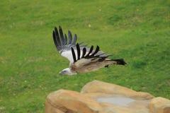 Flying himalayan vulture Stock Photos
