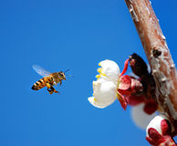 Flying Honey Bee. Macro shot of honey bee landing on a white tree flower Royalty Free Stock Images