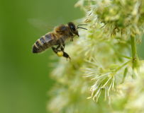 Flying honey bee Stock Photos