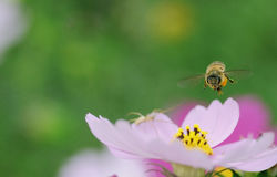 Flying honey bee royalty free stock images