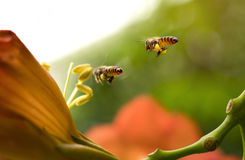 Flying Honey bee. Collecting pollen from orange Campsis radicans flower with sunlight of spring season Stock Photography