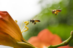 Flying Honey bee collecting pollen from orange Campsis radicans flower Stock Photography