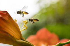 Flying Honey bee collecting pollen from orange Campsis radicans flower Stock Images