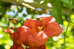 Flying Honey bee collecting pollen from orange Campsis radicans flower Royalty Free Stock Image