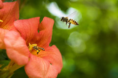 Flying Honey bee collecting pollen from orange Campsis radicans flower Stock Image