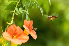 Flying Honey bee collecting pollen from orange Campsis radicans flower Royalty Free Stock Photo