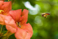Flying Honey bee collecting pollen from orange Campsis radicans flower Royalty Free Stock Images