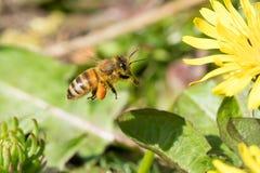 Flying honey bee Royalty Free Stock Photography