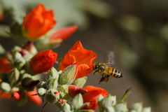 Flying Honey Bee Stock Photo