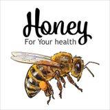 Flying honey bee  on white background Stock Photos