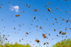 Flying Honey Bees Royalty Free Stock Photo