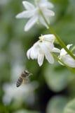 Flying honeybee Stock Images