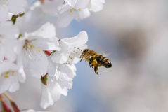 Flying honeybee. Collecting pollen at cherry blossoms stock photography