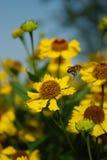 Flying honeybee Stock Image