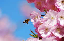 Flying honeybee. A flying honeybee in beatifull pink cherry blossoms stock photography