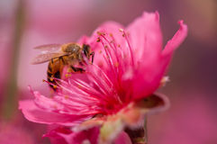 Flying honeybee. A flying honeybee in beatifull pink peach blossoms royalty free stock images
