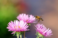 Flying honeybee. Approaching a pink aster royalty free stock image