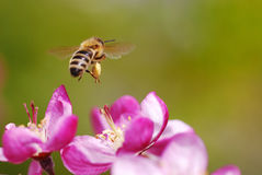 Flying honeybee Royalty Free Stock Image