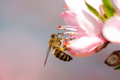 Flying honeybee royalty free stock photos