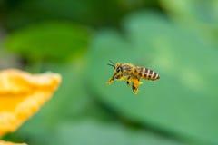 Flying honeybee Stock Photo