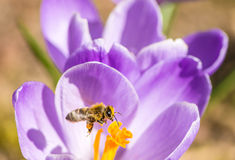 Flying Honeybee Royalty Free Stock Images
