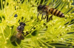 Flying honeybee collecting pollen at yellow flower. In spring season Stock Photos