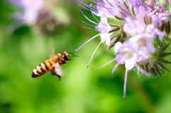 Flying honeybee near purple flower Royalty Free Stock Photo