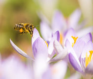 Flying honeybee pollinating a purple crocus flower Royalty Free Stock Images