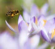 Flying honeybee pollinating a purple crocus flower Stock Images