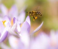Flying honeybee pollinating a purple crocus flower Royalty Free Stock Image