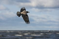 Flying hooded crow with a mussel shell stock photo