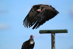 Flying hooded vulture Royalty Free Stock Image