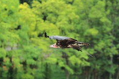 Flying hooded vulture Royalty Free Stock Photography