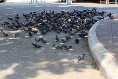 Flying hordes of bread eating Rock Doves or Pigeons. Large mass of feeding frenzy pigeons eating bread at Wat Chai Monkrol Pattaya Thailand Royalty Free Stock Photography