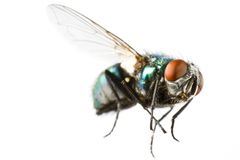 Flying house fly in extreme close up Royalty Free Stock Photography
