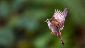 Flying House Sparrow Stock Photos
