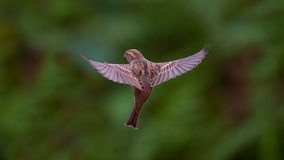 Flying House Sparrow. Sparrow is flying with open wings Royalty Free Stock Image