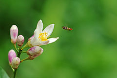 Flying Hover Fly Royalty Free Stock Images