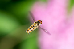 Flying Hoverfly Royalty Free Stock Photos