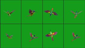 Flying humming bird in different positions with green screen background