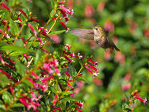 Flying Hummingbird Royalty Free Stock Photos