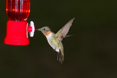 Flying hummingbird. Flying male of ruby-throated hummingbird near a feeder Stock Image