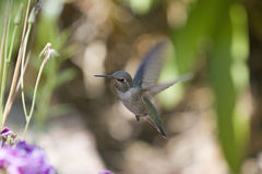 Flying Hummingbird. Hummingbird flying to a flower royalty free stock image