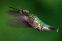 Flying Hummingbird Royalty Free Stock Photo