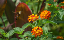 Flying Hummingbird Hawk Moth Royalty Free Stock Photography