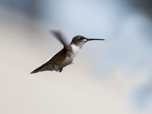 Flying hummingbird hovers in the cloudy sky Royalty Free Stock Photo